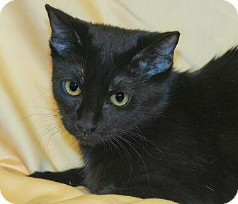 Domestic Shorthair Cat for adoption in Elmwood Park, New Jersey - Abby