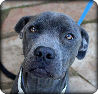 Pit Bull Terrier Mix Dog for adoption in Fort Worth, Texas - Rain