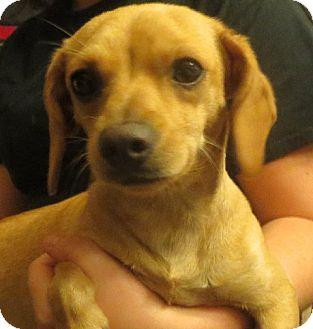 Dachshund Mix Dog for adoption in Rochester, New York - Rosie