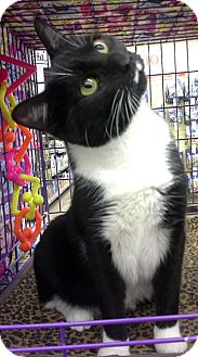 Domestic Shorthair Cat for adoption in Taftville, Connecticut - Cassandra