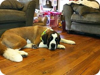 St. Bernard Dog for adoption in Pittsburgh, Pennsylvania - Daisy