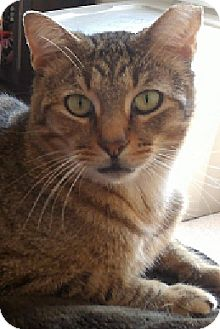 Domestic Shorthair Cat for adoption in Hillside, Illinois - Beezer-ADOPT ME NOW FOR $65!!