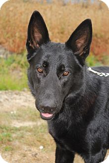 Shepherd (Unknown Type) Mix Dog for adoption in Grants Pass, Oregon - Jet