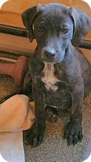 Hound (Unknown Type)/Boxer Mix Puppy for adoption in Williamsburg, Virginia - PEYTON