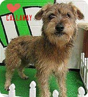 Terrier (Unknown Type, Medium) Mix Dog for adoption in Laingsburg, Michigan - Callaway