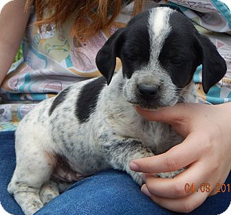 Dachshund/Terrier (Unknown Type, Small) Mix Puppy for adoption in Burlington, Vermont - Andy #2 (4 lb)
