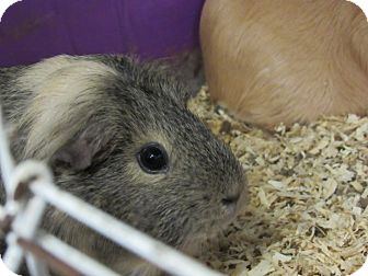 Guinea Pig for adoption in Grinnell, Iowa - Shel