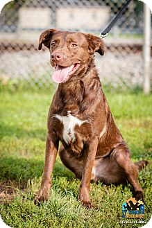 Labrador Retriever Mix Dog for adoption in Evansville, Indiana - Charlie