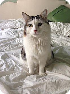 Domestic Mediumhair Cat for adoption in Los Angeles, California - Amber