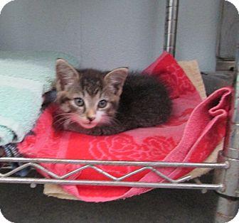 Domestic Shorthair Kitten for adoption in Warrenton, North Carolina - Lana