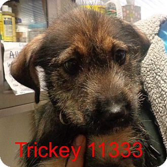 Airedale Terrier Mix Puppy for adoption in Greencastle, North Carolina - Trickey