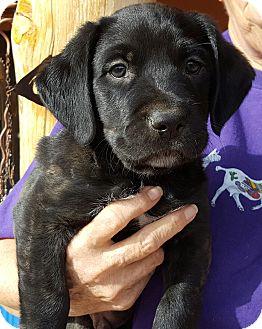 Labrador Retriever Mix Puppy for adoption in Phoenix, Arizona - Victor