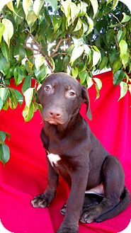 Labrador Retriever Mix Puppy for adoption in San Diego, California - MARCY