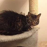 Adopt A Pet :: Juliette - Dale City, VA