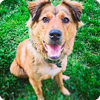 Golden Retriever/Chow Chow Mix Dog for adoption in Memphis, Tennessee - Hetty