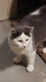 Domestic Longhair Cat for adoption in Wichita, Kansas - Cain