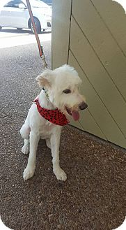 Goldendoodle Mix Dog for adoption in loxahatchee, Florida - trixie