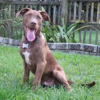 Labrador Retriever Mix Dog for adoption in Lafayette, Louisiana - Landon