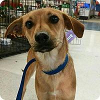 Adopt A Pet :: Nerdy Boy Nelson - Bakersfield, CA