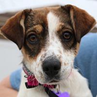 Adopt A Pet :: Roxanne aka Roxie - Green Bay, WI