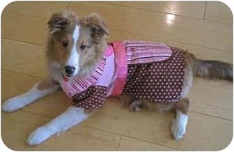 Sheltie, Shetland Sheepdog Puppy for adoption in La Habra, California - Clover
