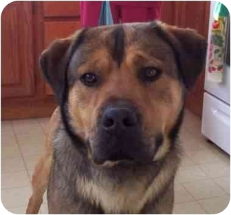 Rottweiler/Shepherd (Unknown Type) Mix Dog for adoption in Peoria, Illinois - Buddy