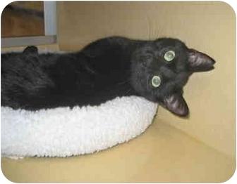Domestic Shorthair Cat for adoption in Colmar, Pennsylvania - Felix