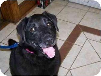 Labrador Retriever Mix Dog for adoption in Grant Park, Illinois - Belle