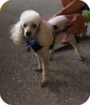 Poodle (Miniature) Dog for adoption in Melbourne, Florida - SEVEN