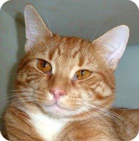 Domestic Shorthair Cat for adoption in Carmel, New York - Brett