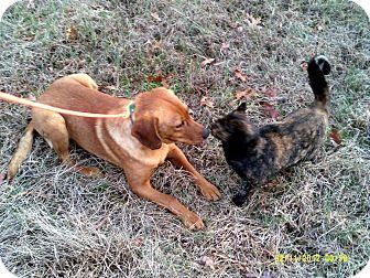Labrador Retriever/Irish Setter Mix Dog for adoption in Dundas, Virginia - Josey