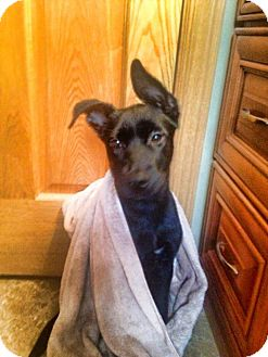 Labrador Retriever Mix Puppy for adoption in Chicago, Illinois - Frasier