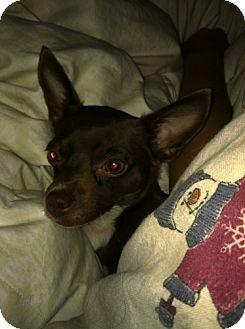 Chihuahua Dog for adoption in Edmond, Oklahoma - Libby Lane