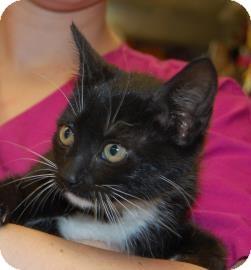 Domestic Shorthair Kitten for adoption in Brooklyn, New York - princess