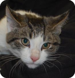 Domestic Shorthair Kitten for adoption in Brooklyn, New York - Chrissy