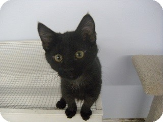 Domestic Shorthair Cat for adoption in Fort Benton, Montana - Clubs