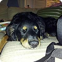 Adopt A Pet :: Stella - Commerce City, CO