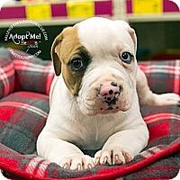Adopt A Pet :: Pup 1 - Mesa, AZ