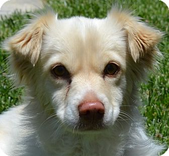 Papillon Mix Dog for adoption in Simi Valley, California - Jax