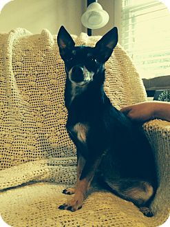Chihuahua Dog for adoption in Nashville, Tennessee - Ziva