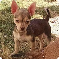 Adopt A Pet :: Dot -a Bug's life litter - Phoenix, AZ