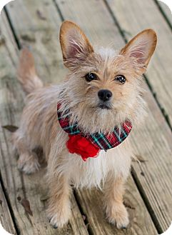 Terrier (Unknown Type, Small) Mix Dog for adoption in Denver, Colorado - Bubble