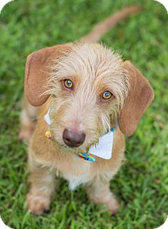 Dachshund Mix Puppy for adoption in Glastonbury, Connecticut - Mick