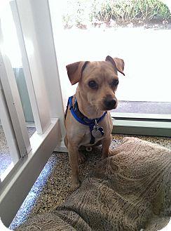 Chihuahua/Basenji Mix Dog for adoption in Thousand Oaks, California - Rex