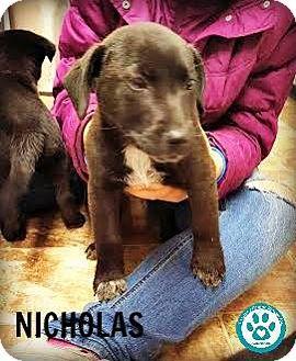 Cattle Dog/Labrador Retriever Mix Puppy for adoption in Kimberton, Pennsylvania - Nicholas