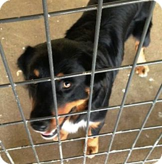 Australian Shepherd/Rottweiler Mix Dog for adoption in Dover, Tennessee - OZZIE