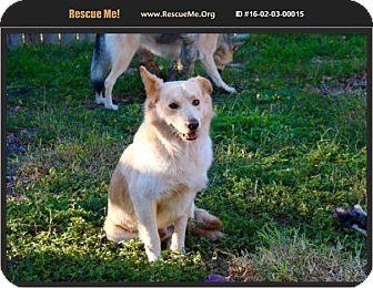 Australian Shepherd/Golden Retriever Mix Dog for adoption in Olympia, Washington - Ryder
