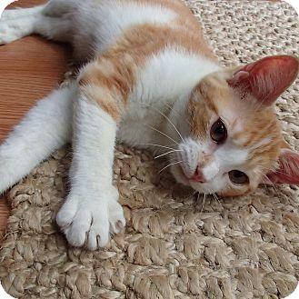 American Shorthair Kitten for adoption in Ponchatoula, Louisiana - Thomas