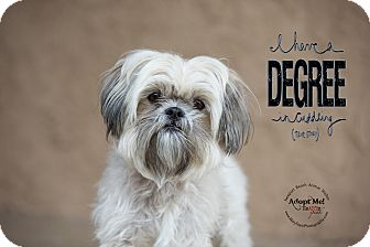 Shih Tzu Mix Dog for adoption in Newport Beach, California - Biscuit