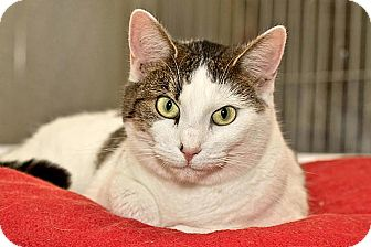 Domestic Shorthair Cat for adoption in Cashiers, North Carolina - Jade